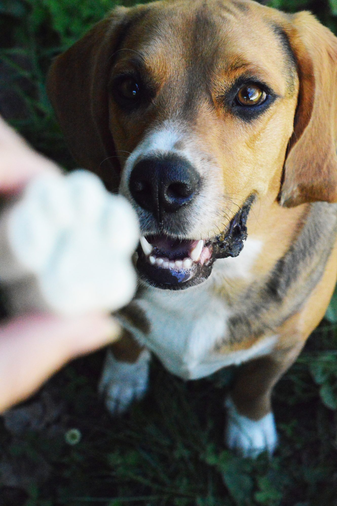 Dogs love these frozen yogurt treats with fresh mint and honey